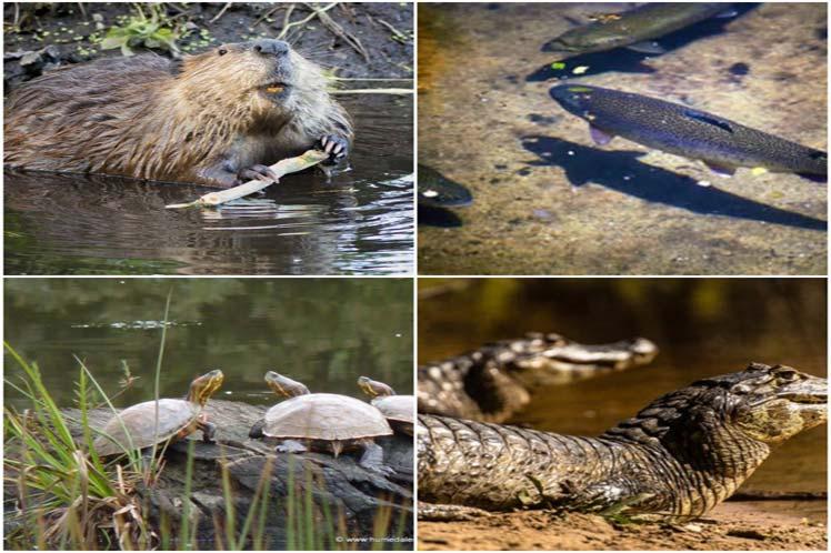 Freshwater Megafauna Endangered, Scientists Say