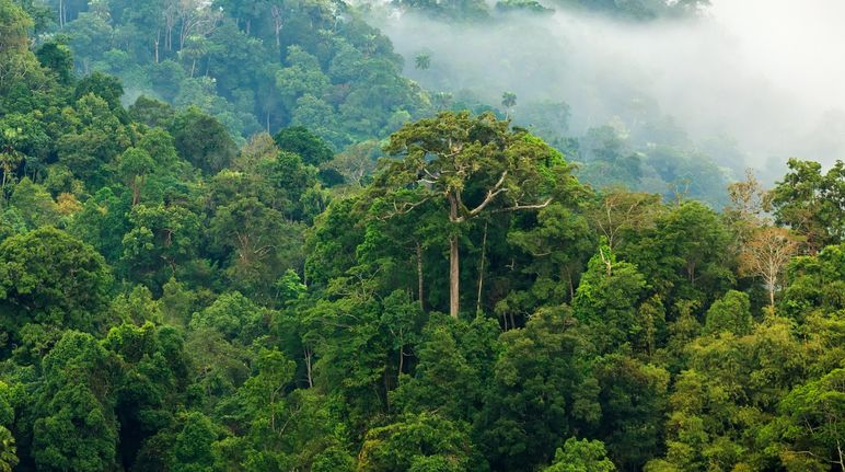 Amazon´s Tallest Tree is safe from Fire