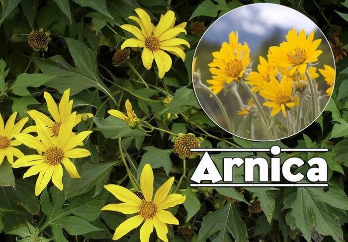 Arnica: prodigious for health