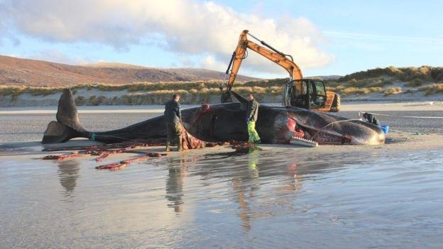 Cachalote encontrado muerto en Escocia con 100 kilos de basura en el estómago