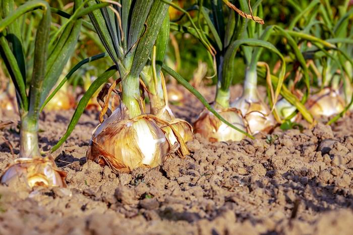 La cebolla reduce los síntomas de fatiga, ansiedad y depresión