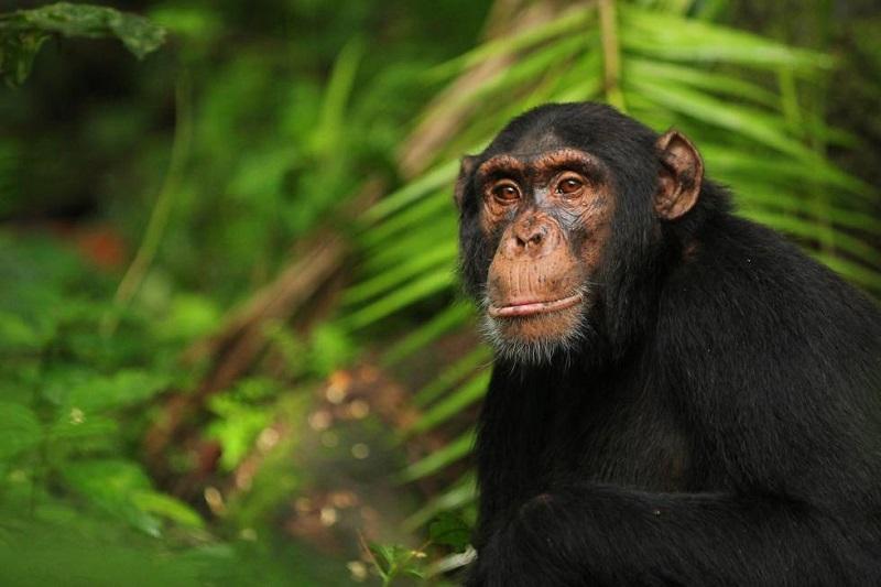 Descubren cultura material en chimpancés orientales