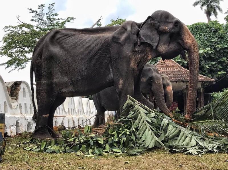 Denuncian mala condición de salud de una elefanta desnutrida