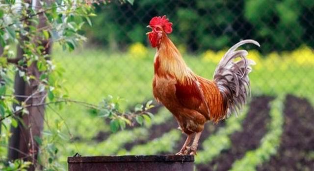 Los gallos y las gallinas son dueños de las mañanas