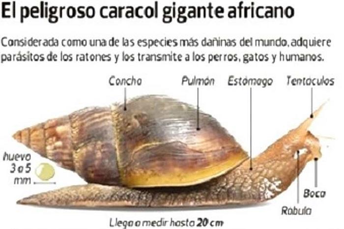 Cuidado!...Con el caracol gigante africano (+Video e Infografía)