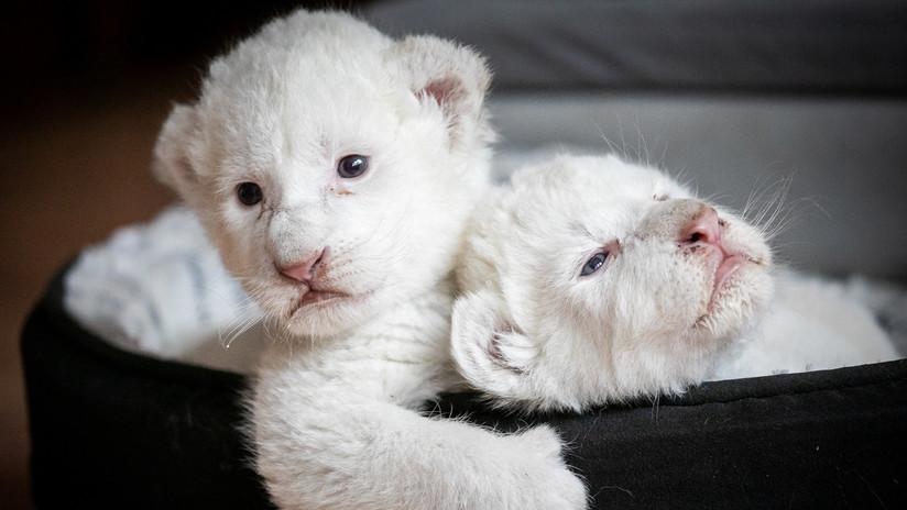Presentan dos raros cachorros de león blanco