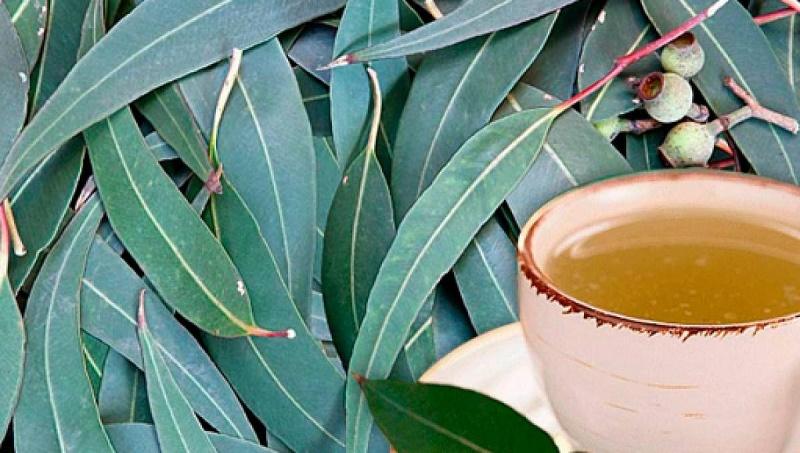 Eucalipto, una planta que alivia los dolores del reuma y la artritis