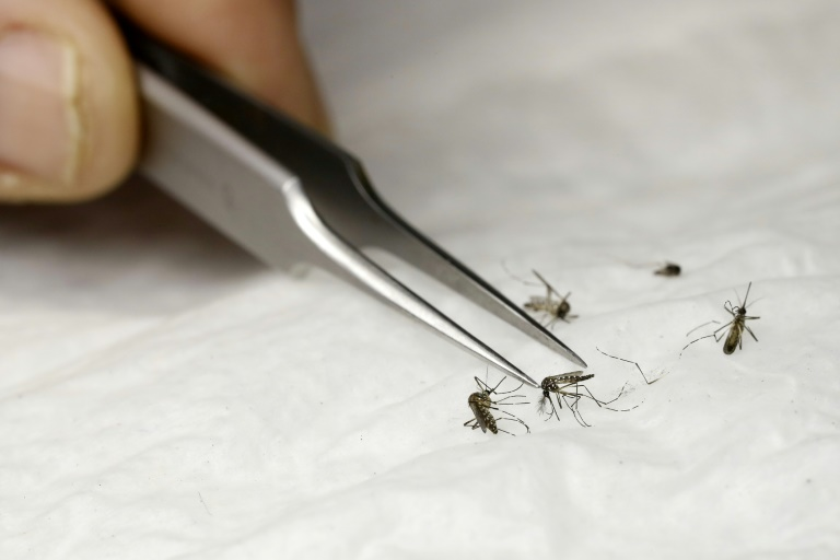 Realizan prueba para el control del Aedes aegypti con  insecto estériles