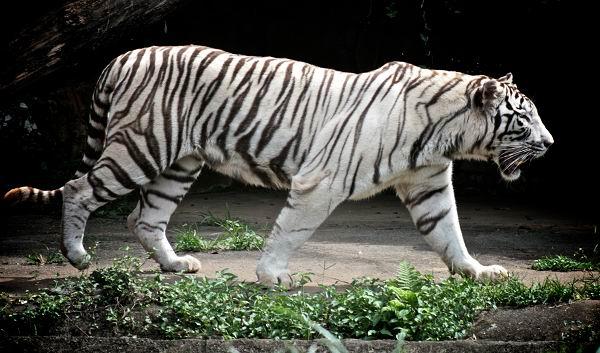 El Tigre de Bengala blanco será uno de los animales donados al Zoológico Nacional de Cuba.