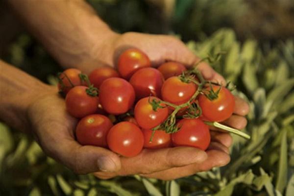 Con tomate cimarrón