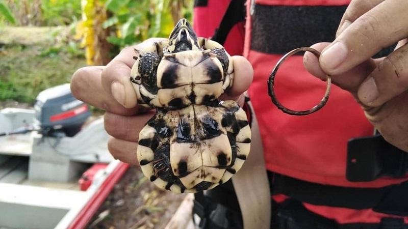 """Rescatan tortuga que creció con un """"corsé"""""""