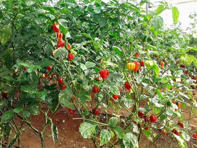 Agricultores de Cienfuegos priorizan fondos exportables