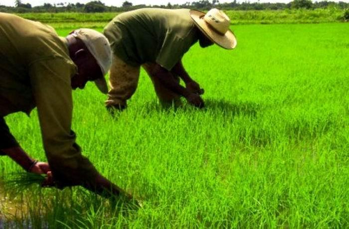 Contribuye Ciego de Ávila a sustituir importaciones de arroz