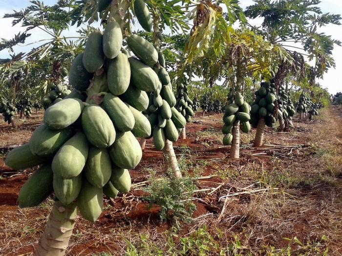 Elevadas producciones de fruta bomba en Mayabeque