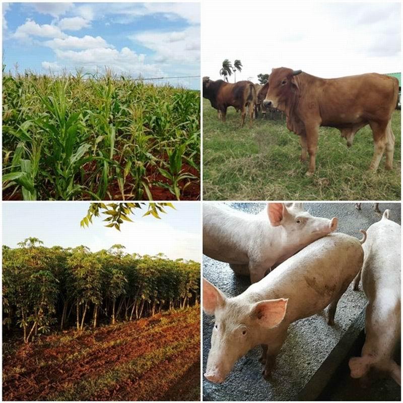 Sembrar maiz y yuca contribuye a la sutitución de importaciones en la producción para autoabastecimiento