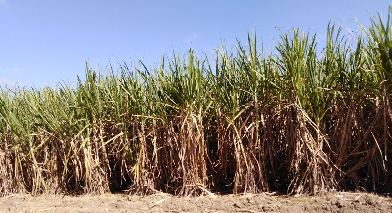 En Audio: El azúcar se produce en el campo