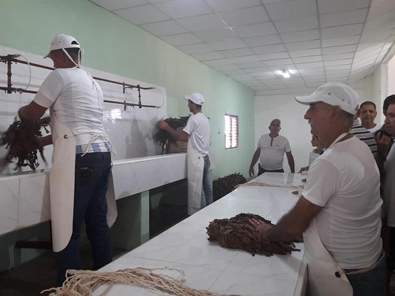 En Audio: Incrementa Cuba exportación de tabaco en rama