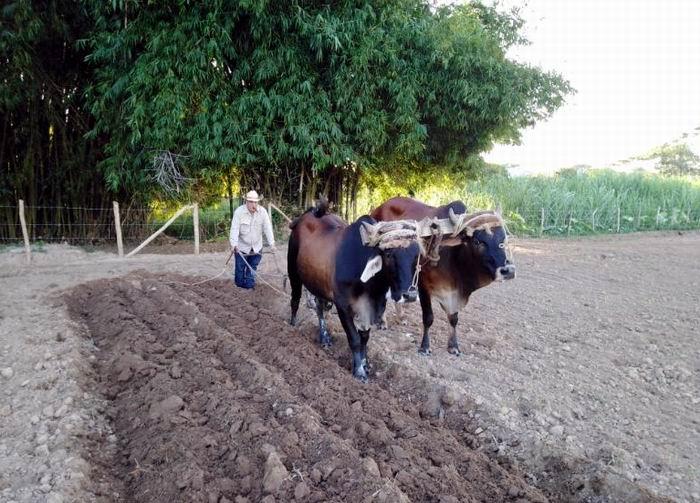 El bloqueo: La peor plaga del tabaco cubano (+Audio)