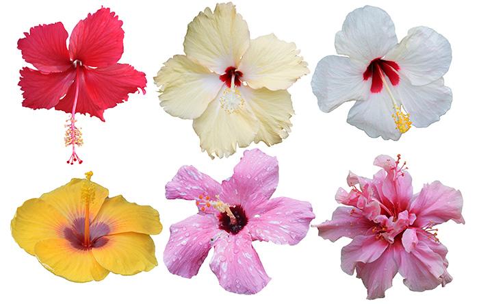 Tipos de Hibisco, Cayena, Amapola, Rosa china, flor de Jamaica