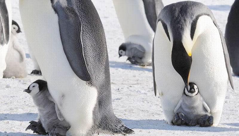 La comunicación vocal caracteriza a los pingüinos africanos