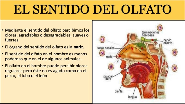 ¿Sabías que el olfato es uno de los sentidos que más se usan?