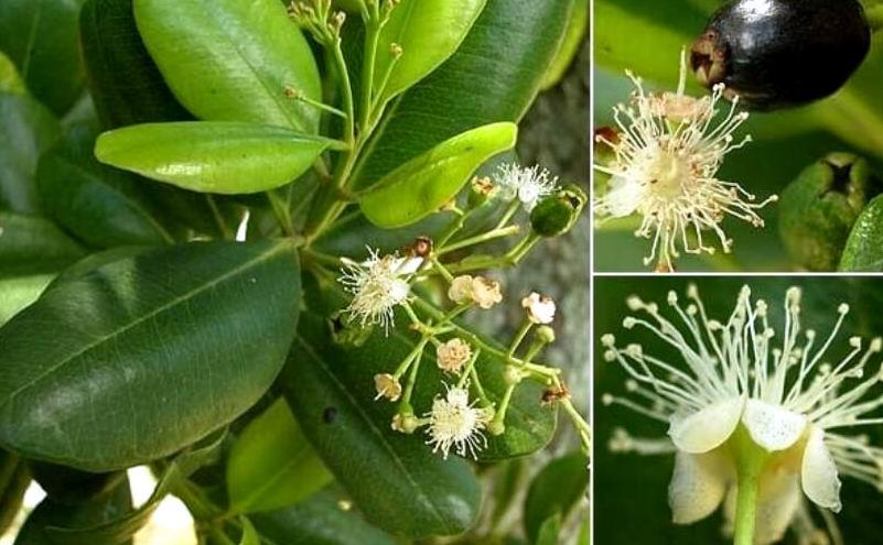 hojas de malagueta