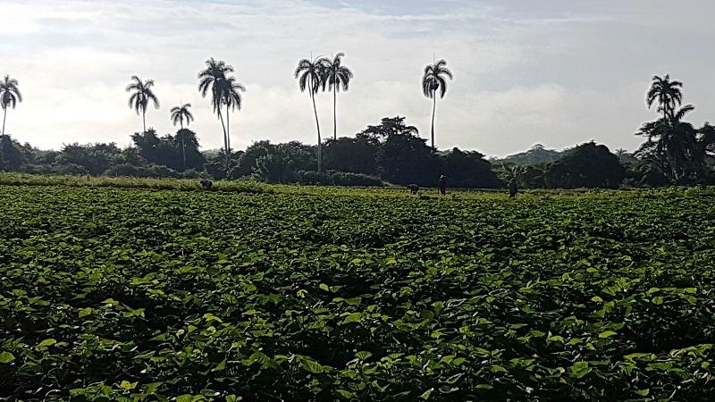 Cuba puede volver a exportar boniato