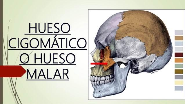 Cigomático, ese pequeño huesecillo situado en los extremos del cráneo y que perfila los pómulos