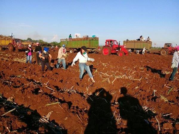 Cumplió Cienfuegos plan de siembra de caña de primavera (+Audio)