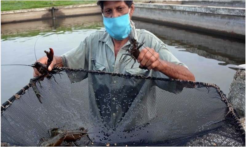Cuban province strengthens freshwater lobster farming and export