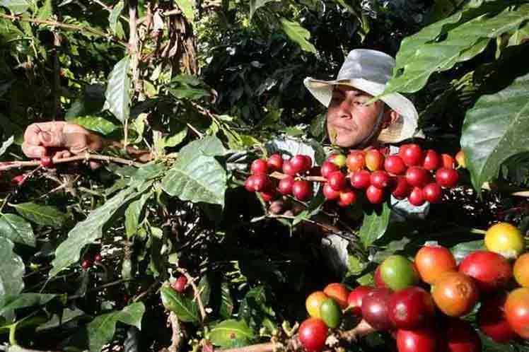 Where is cuban coffee production headed?