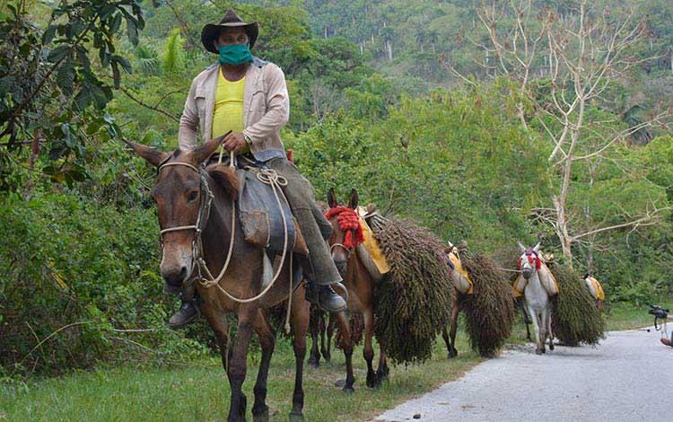 Los arrieros y jóvenes del Ejército Juvenil del Trabajo (EJT), después de sus labores de acopios de racimos trasladan el palmiche hasta los camiones. (Foto: Ramón Barreras Valdés)