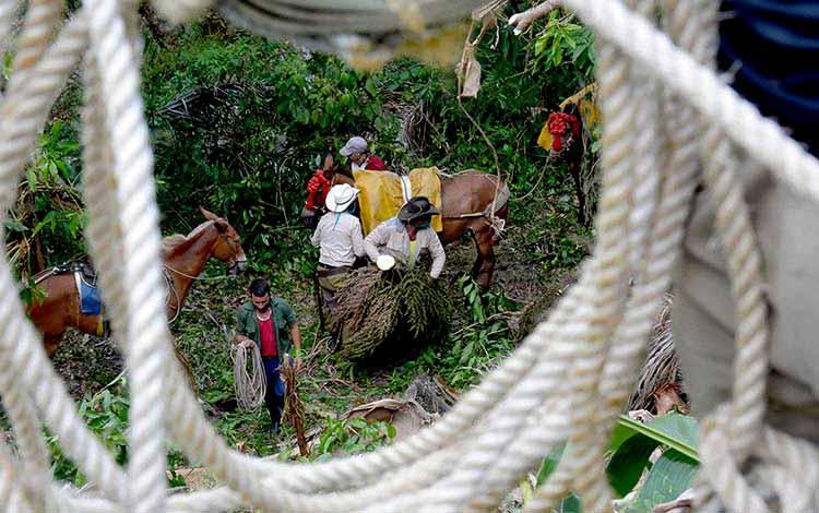 Primera brigada de jóvenes desmochadores de palmas en la zona montañosa Guamuhaya, en Manicaragua, perteneciente a la Empresa Agroforestales de Jibacoa. (Foto: Ramón Barreras Valdés)