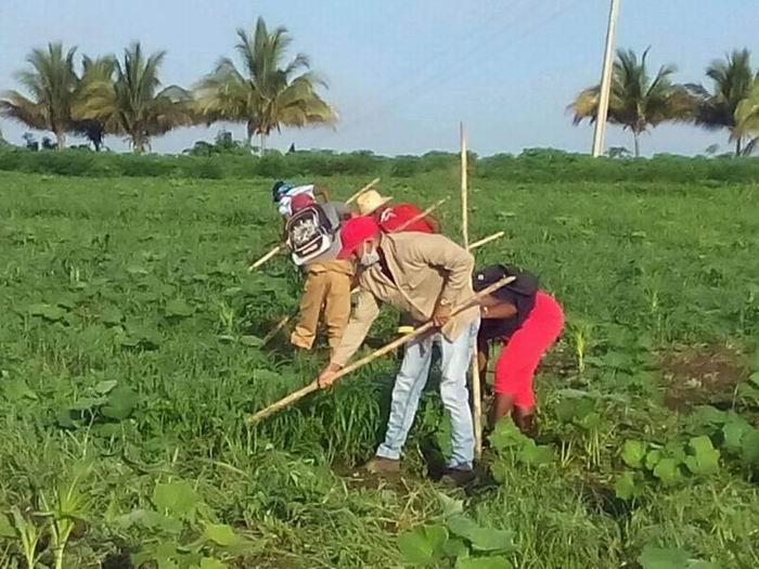 Avanza Santiago de Cuba en siembra de primavera
