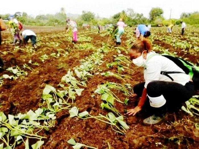 🎧 Cumplió Santiago de Cuba siembra de primavera