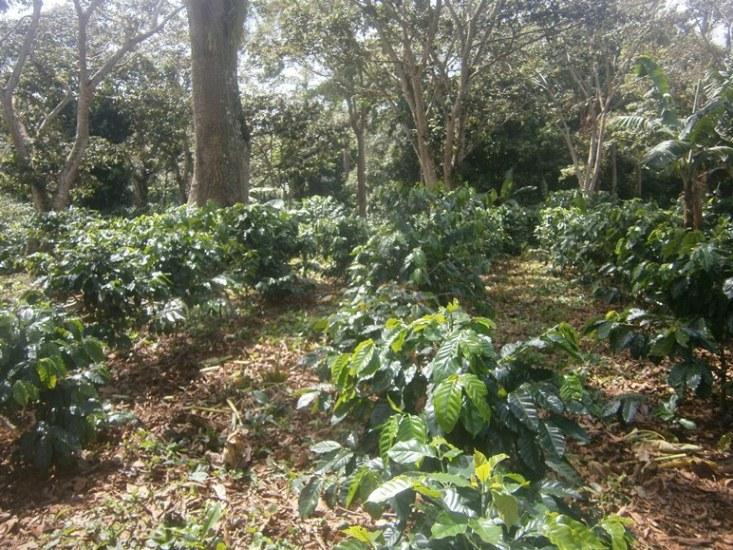Garantiza Cienfuegos la siembra de café