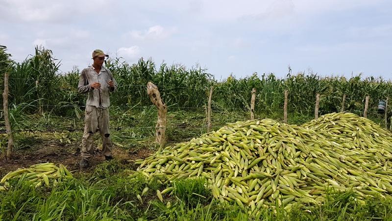 Comenzó la cosecha de maíz.
