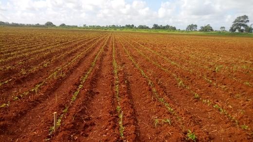 Chequea vicepresidente cubano producción de alimentos en Artemisa