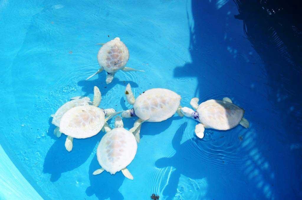 Albino Turtles in Cayo Largo del Sur tourist Resort