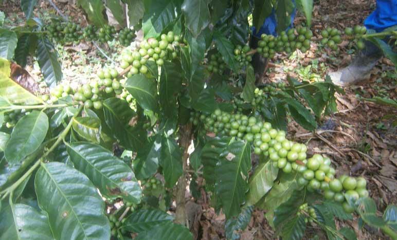 Cooperativistas cienfuegueros producen café en el llano y tabaco tapado