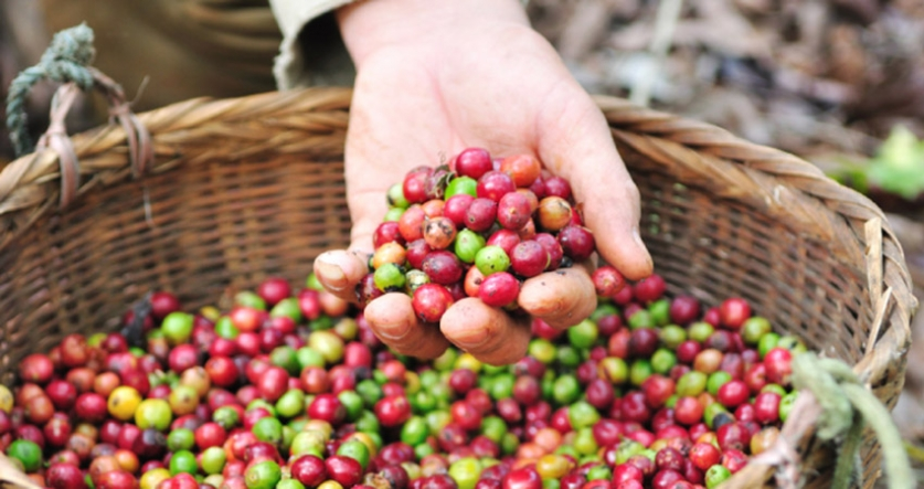 Cuban scientists work hard to rescue coffee production