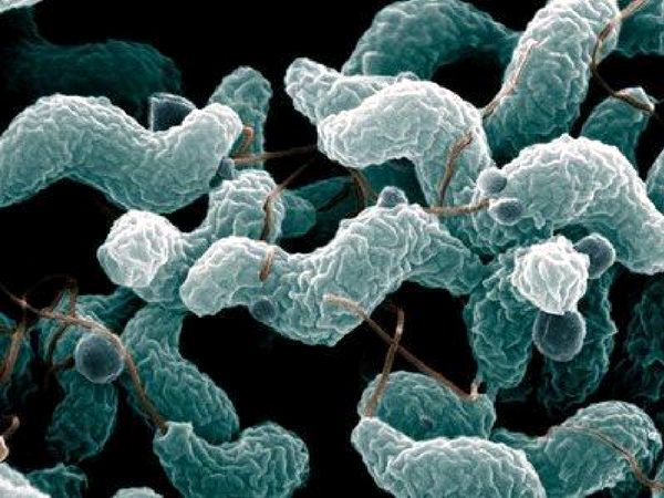 campylobacter-jejuni-bacteria.png