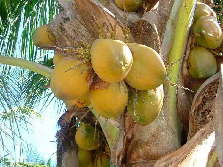 El coco fortalece el sistema inmunológico