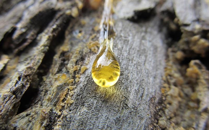 La resina de pino beneficiosa para la faringitis