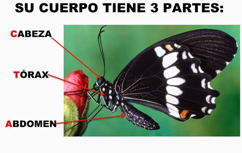 Cuerpo de la mariposa