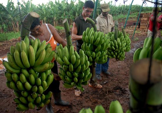 Nuevos planes para el cultivo del pl�tano en Cuba