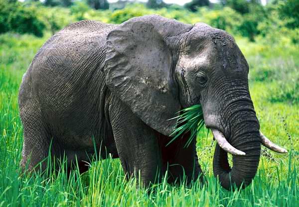 Elefantes detectan depredadores humanos por el sonido