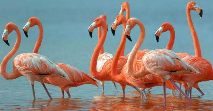 Flamenco rosado, en el río Máximo, Refugio de Fauna en la provincia de Camagüey
