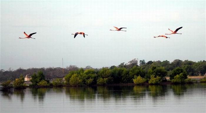 Cría del flamenco rosado, en el río Máximo, Refugio de Fauna en la provincia de Camagüey