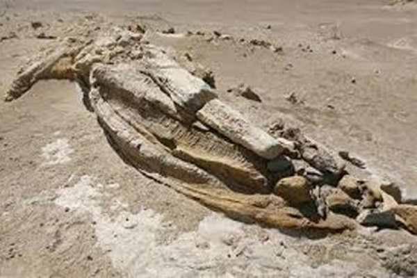 Encuentran fósil de pingüino gigante en Perú